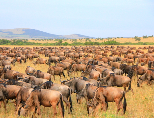The Great Annual Migration of Wildebeest at Maasai Mara