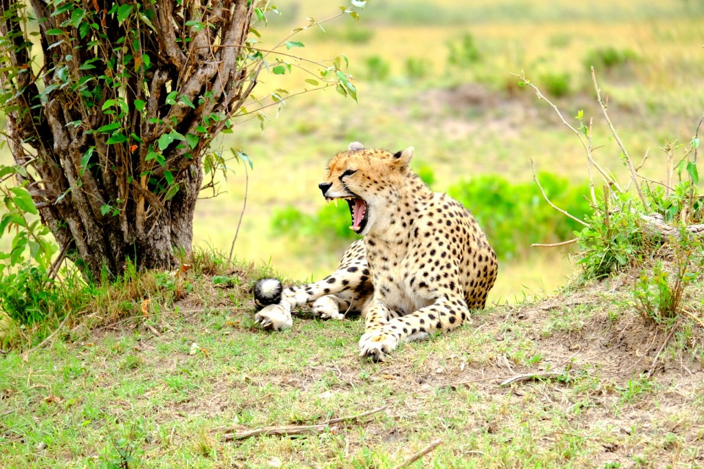 The Cheetah in action