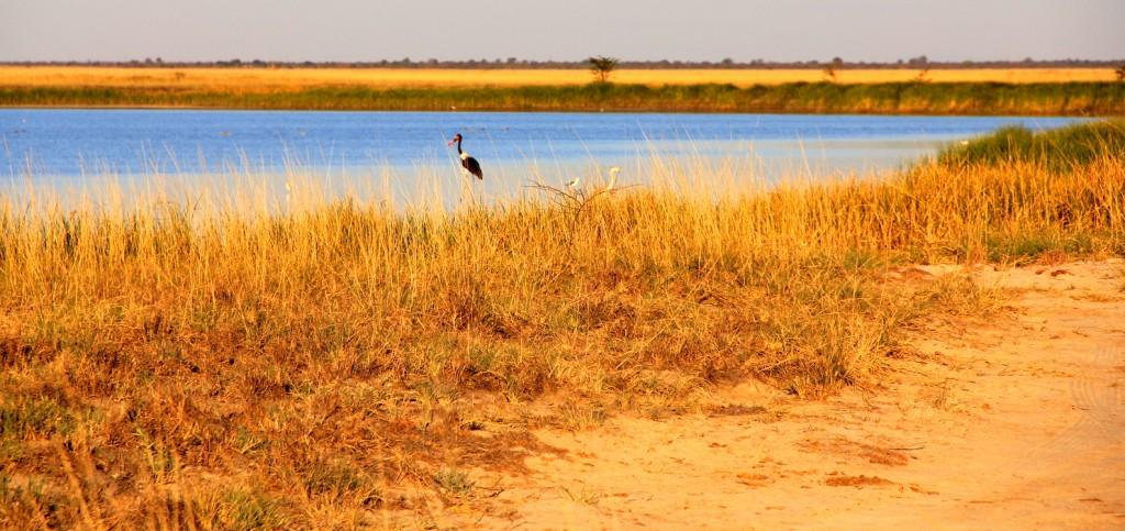 Pelican in Botswana