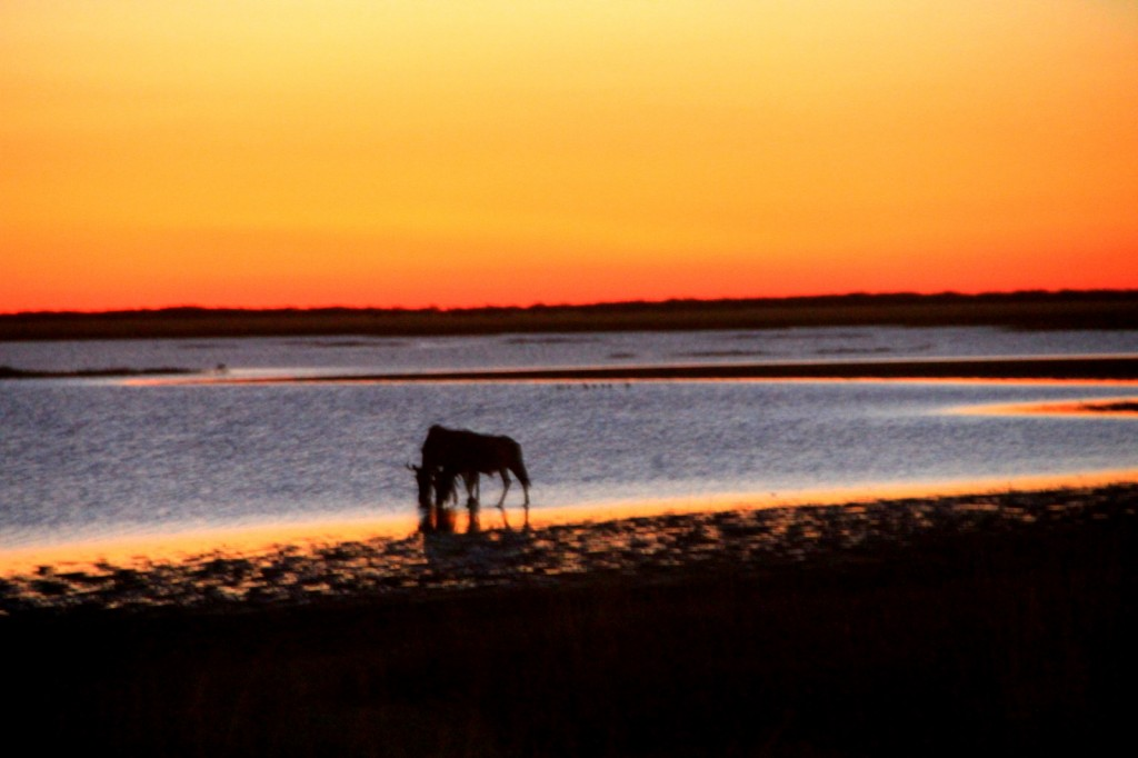 Wildebeest with the beautiful sunset in Botswana