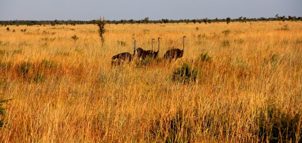 Ostriches in Botswana