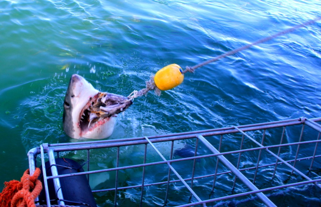 Shark Cage Diving at South Africa