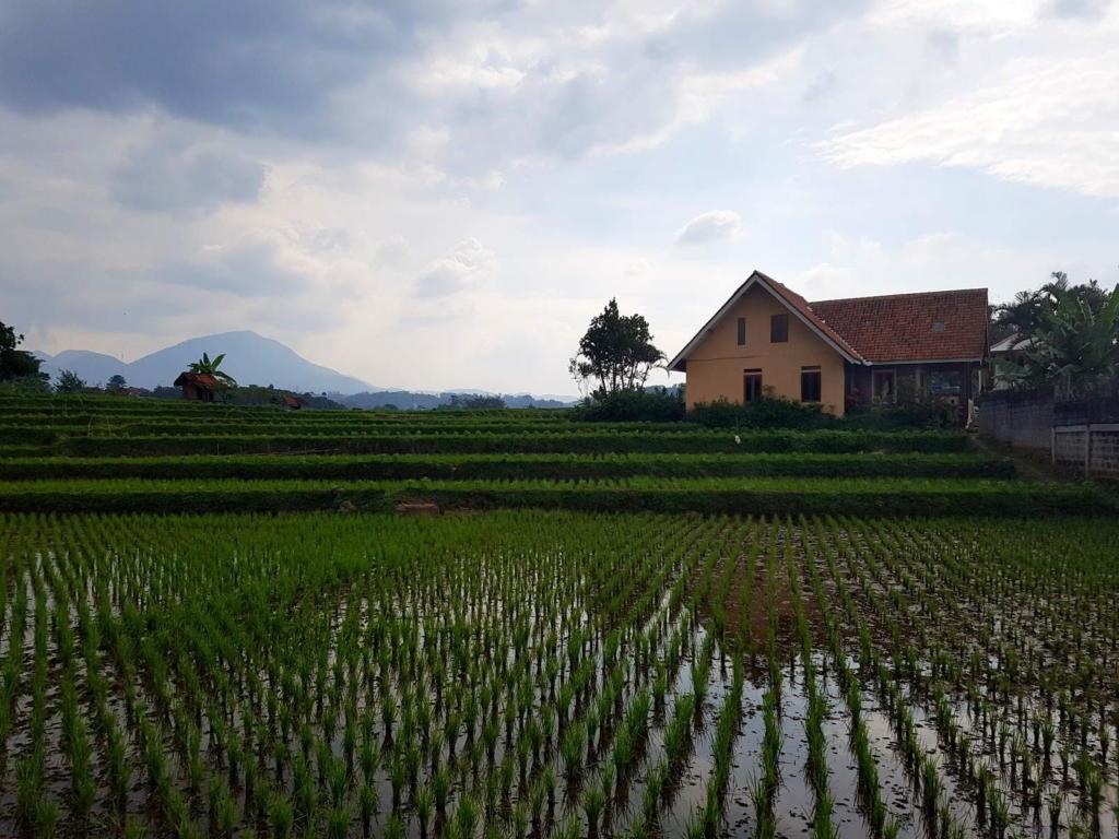 Bandung Paddy Field