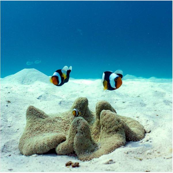 Panda Clownfish with their anemone.
