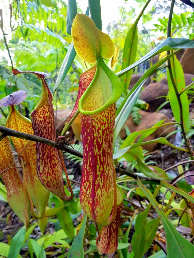 Upper Pitcher