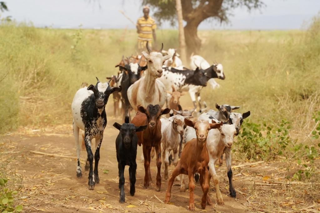Dassanech man with his goats